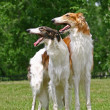 The Borzoi — Stock Photo