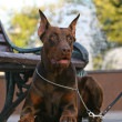 Foto Stock: DobermPinscher above bench