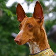 Pharaoh hound — Stock Photo #1167081