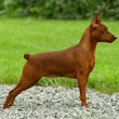 Постер, плакат: The Miniature Pinscher