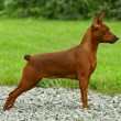 The Miniature Pinscher - Stock Photo