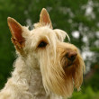 Постер, плакат: The Scottish Terrier