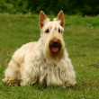 Stock Photo: Scottish terrier