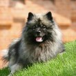 Royalty-Free Stock Photo: Spitz-type dog