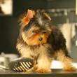 Yorkshire Terrier in kitchen — Stock Photo #1167756