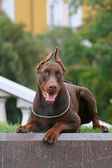 O doberman pinscher acima do kremlin — Foto Stock