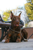 The Doberman Pinscher above the bench — 图库照片