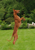 Dancing Pharaoh Hound — Stock Photo