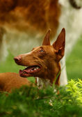 The Pharaoh Hound — Stock Photo