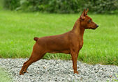The Miniature Pinscher — Stock Photo