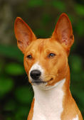 The Basenji — Stock Photo