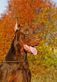 El doberman — Foto de Stock