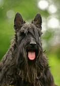The Scottish Terrier — Stock Photo