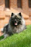 Spitz-type dog — Stock Photo