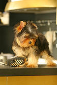 The Yorkshire Terrier in the kitchen — Stock Photo