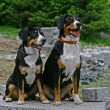 Stock Photo: Appenzeller Sennenhund