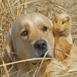 Stock Photo: Labrador and Guinea-pig