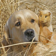 Labrador and Guinea-pig - Stock Photo