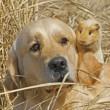 Labrador and Guinea-pig — Stock Photo