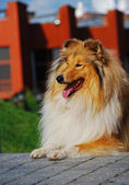 A collie — Stock Photo