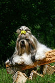 The Shih Tzu — Stock Photo