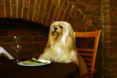 The Lhasa Apso — Foto Stock