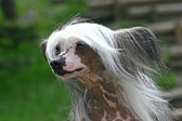 The Chinese Crested Dog outdor foto — Stock Photo