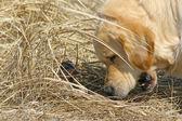 Labrador und ente — Stockfoto