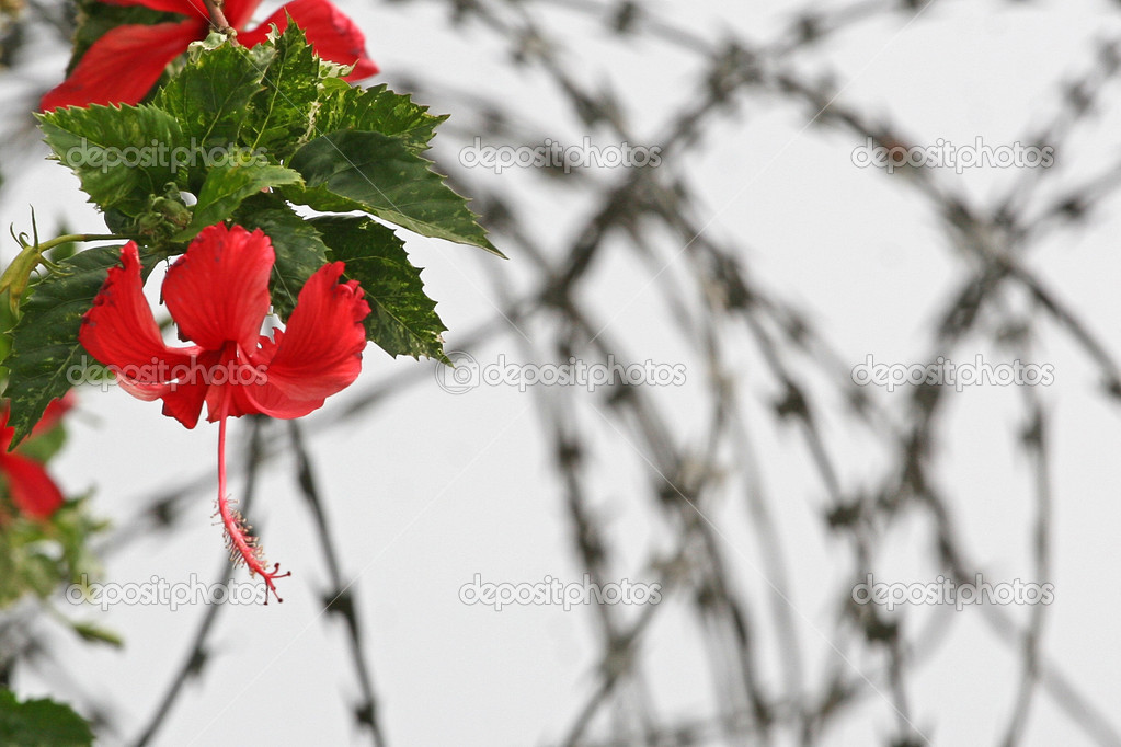 Flower of freedom stock photo gsdonlin 1175083 - Flowers that mean freedom ...