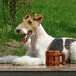 Wire Fox Terrier and a cup — Stock Photo