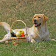 Labrador and With a basketof fruits — Stock Photo #1183340