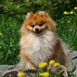 The Pom — Stock Photo #1190430