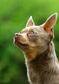 The Chihuahua — Stock Photo