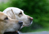 2 labradors outdoor — Stock Photo