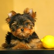 Постер, плакат: The Yorkshire Terrier