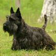 Scottish Terrier — Stock Photo #1210164