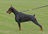 Den doberman pinscher — Stockfoto
