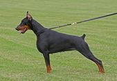 ドーベルマン犬 — ストック写真