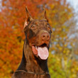 Stockfoto: DobermPinscher