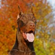 Stock Photo: The Doberman Pinscher