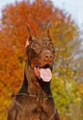 The Doberman Pinscher — Stok fotoğraf