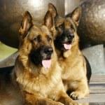 Two German shepherds — Stock Photo #1300871