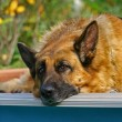 Portrait of a German shepherd - Stock Photo