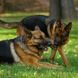 Two shepherds playing — Stock Photo #1448126