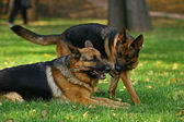 Two shepherds playing — Stock Photo