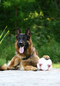Shepherd and soccer ball — Stock Photo