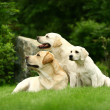 Three white dogs - Stock Photo