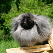 The Pekingese or Peke - Stock Photo