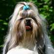 The Shih Tzu - Stock Photo