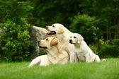 Three white dogs — Stock Photo